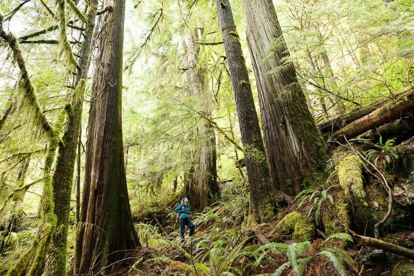 Ancient forest. Леса Британской Колумбии (Наш Ванкувер)