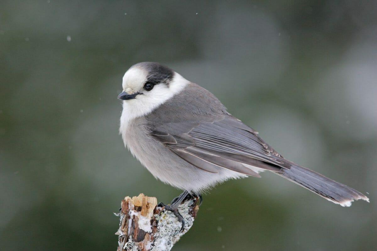 серая сойка, птица символ Канады