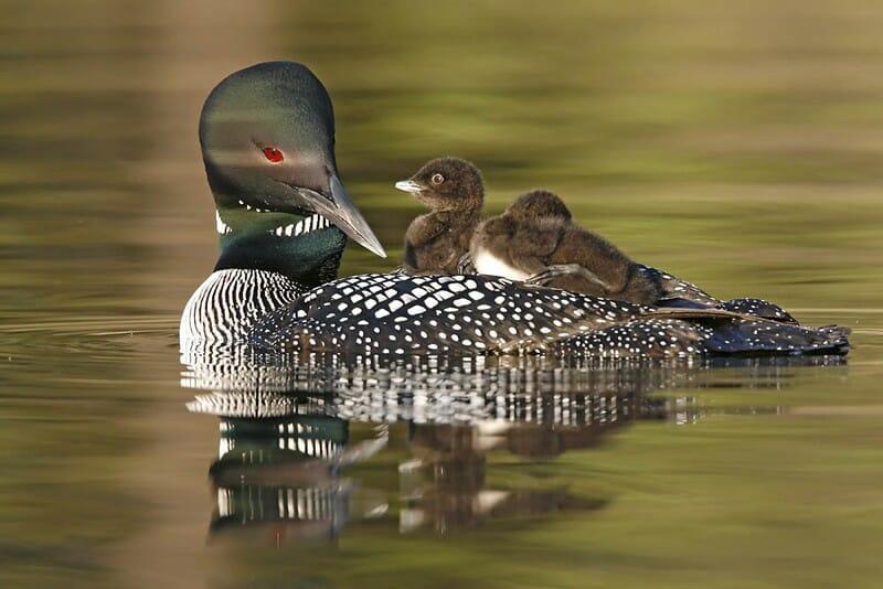 Черноклювая гагара, птица Канады, голосование за звание птица Канады