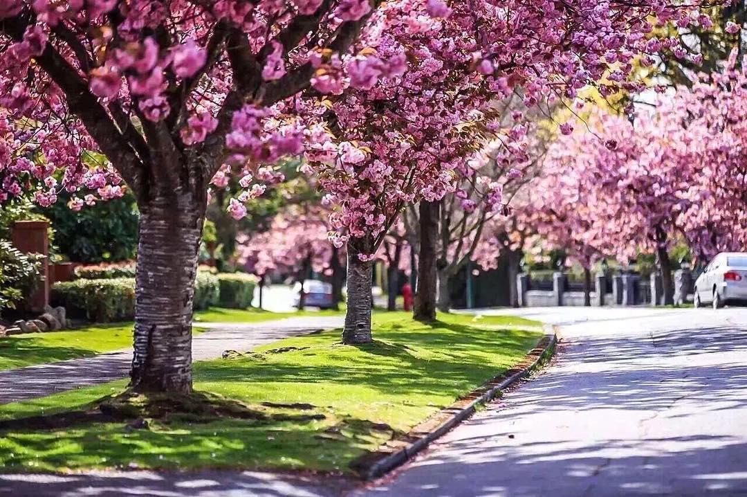 vancouver phoos 2016, весна в Ванкувере, цветение вишни