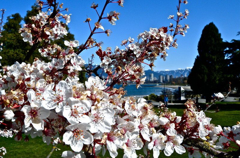 весна в Ванкувере, цветение вишни в Ванкувере, Канада