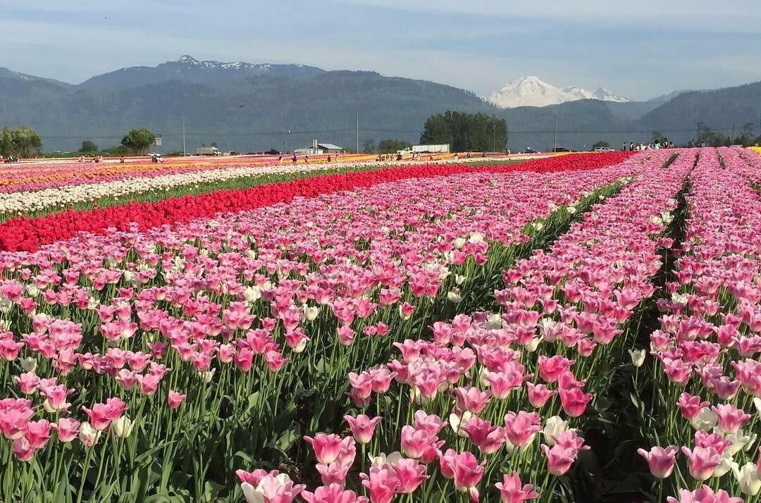 фестиваль тюльпанов, Ванкувер, абботсофрд