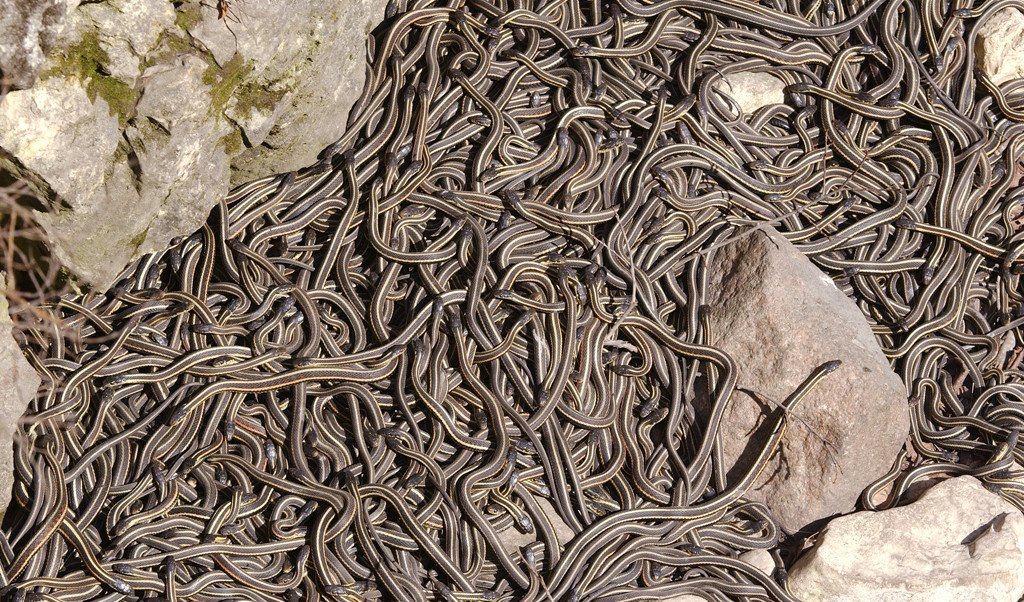 сборище змей в Манитобе (Канада)