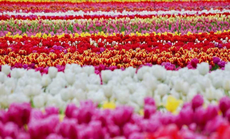 фестиваль тюльпанов Ванкувер