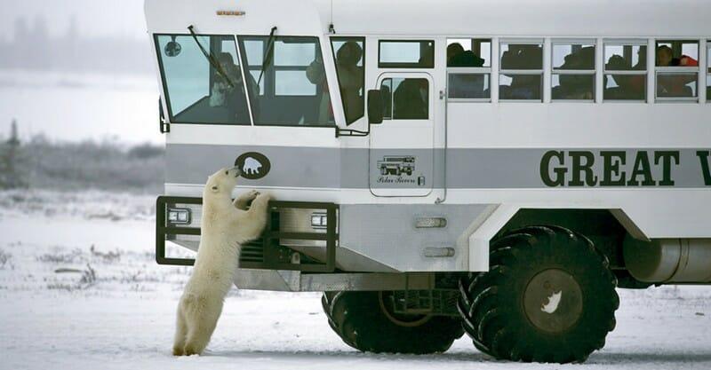 понаблюдайте за полярными медведями в Канаде