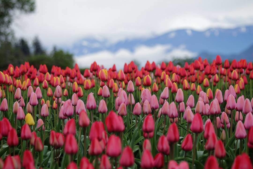 фестиваль тюльпанов в Канаде