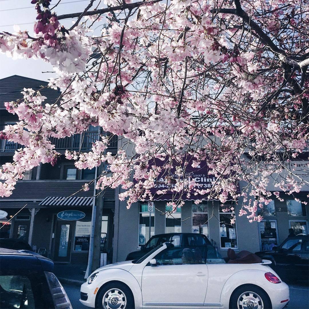 Цветение сакуры в Ванкувере (фото)