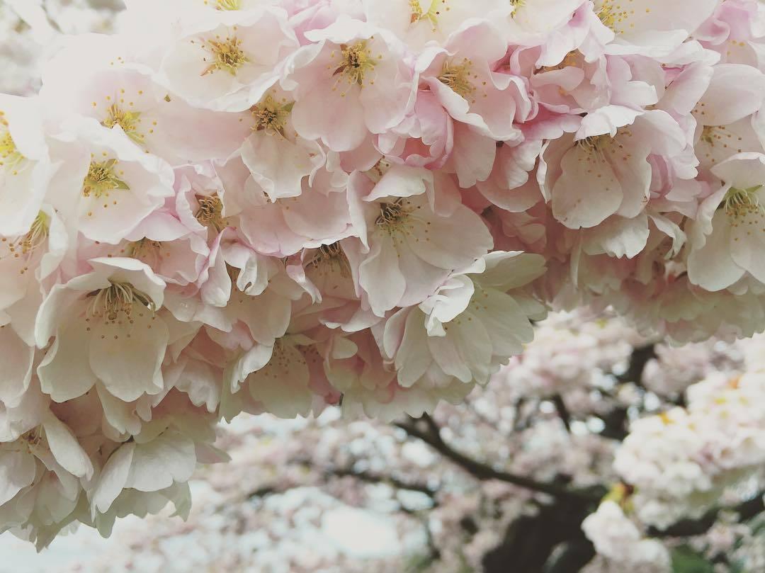 цветение вишни в Ванкувере (фото)