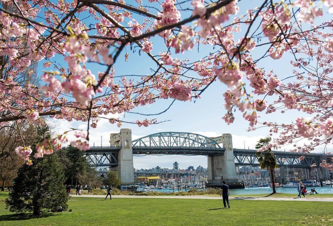 весна в Ванкувере, цветение вишни