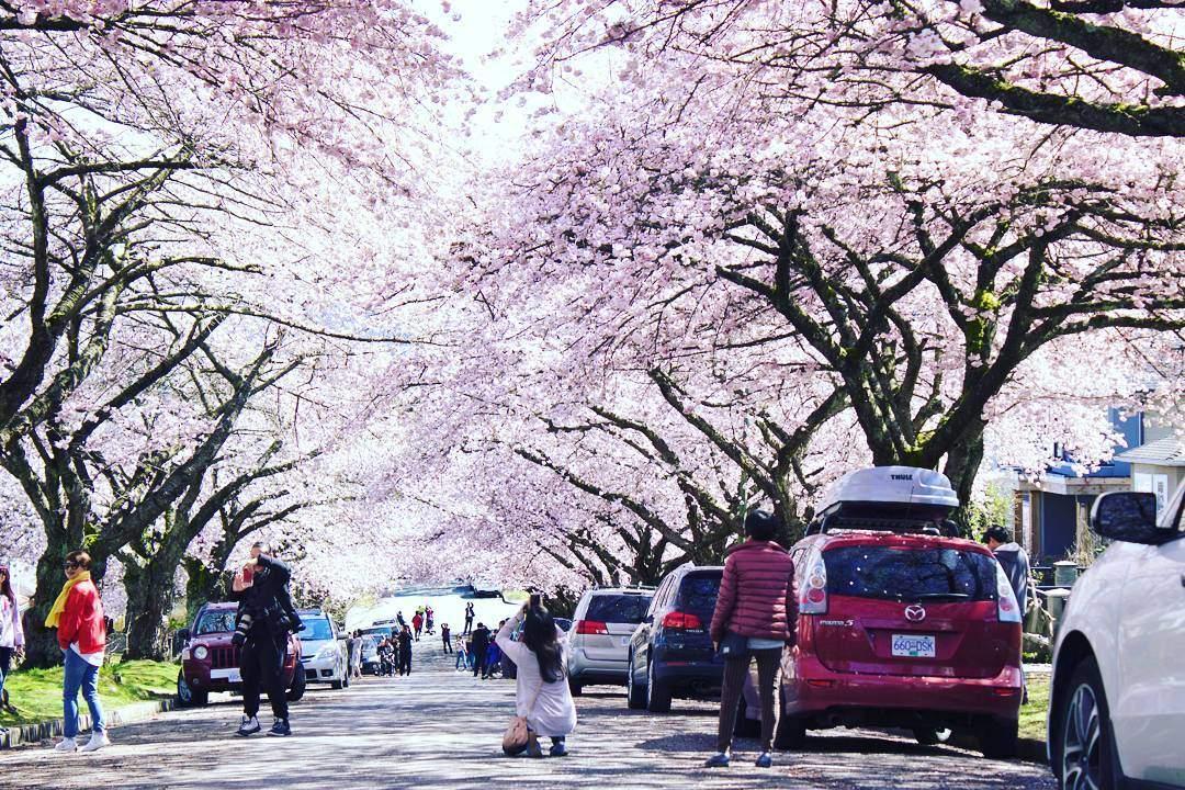 Весна в Ванкувере: цветущая сакура (фото)