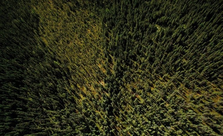 бореальный лес