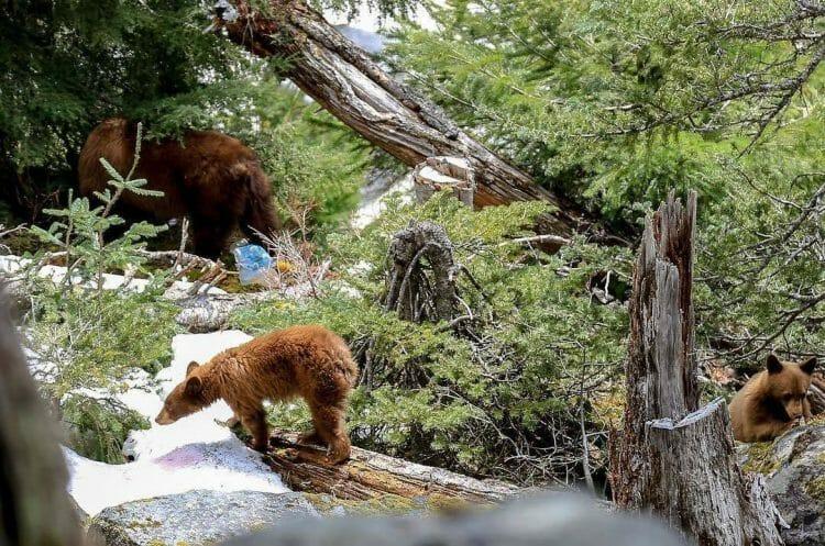 в Британской Колумбии закрыли горячие источники из-за медведей