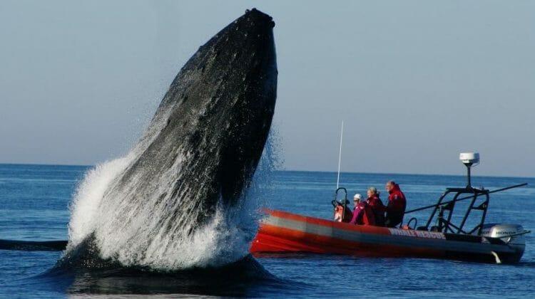 в канаде кит убил своего спасителя