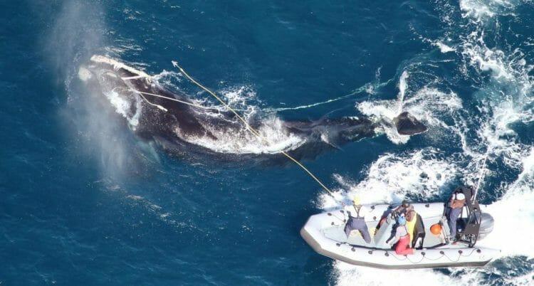 кит убил своего спасателя в Канаде