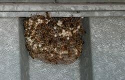 осиное гнездо Канада