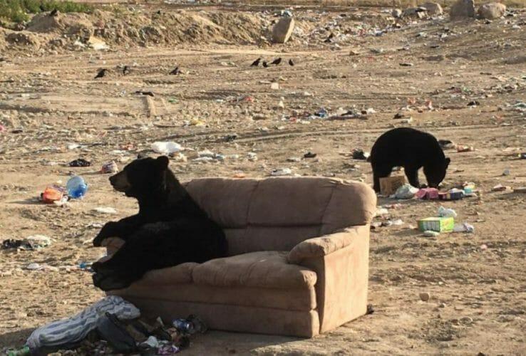 медведь в Канаде уселся на диван