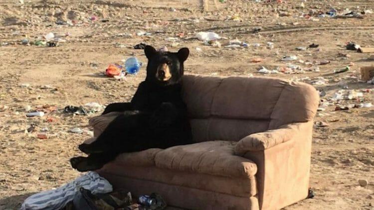 медведь на диване в Канаде