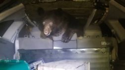 медведь машина