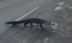 аллигатор на улице