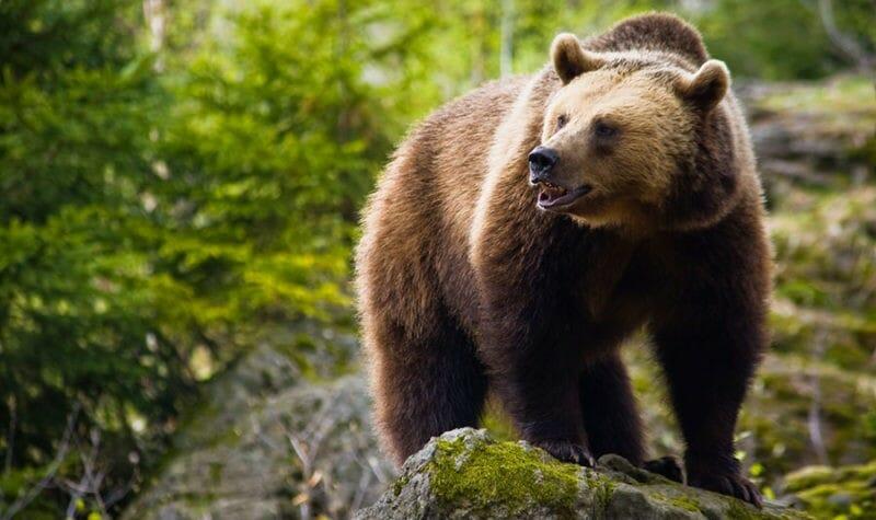 миграция медведей
