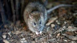 крысы коронавирус