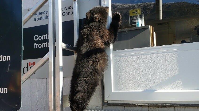 канада сша медведь