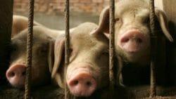 свинной грип