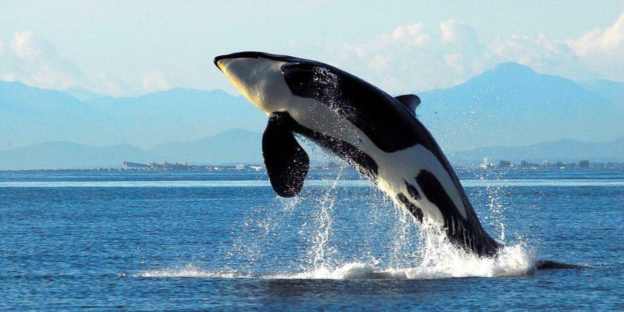 наблюдение за китами ванкувер